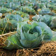 Болезни капусты: фото, описание и лечение