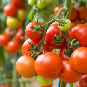 Болезни помидоров: фото и их лечение, от чего закручиваются листья?