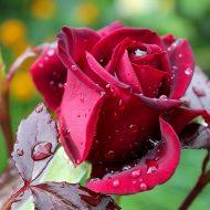 Болезни розы фото и чем лечить