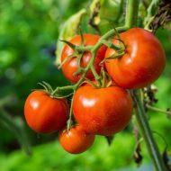 Болезни томатов: описание с фотографиями и способы лечения
