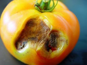 Болезни томатов описание с фотографиями и способы лечения