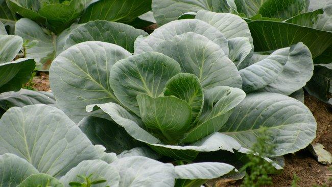 Чем подкормить капусту для формирования кочана