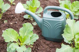 Чем подкормить капусту для роста в открытом грунте