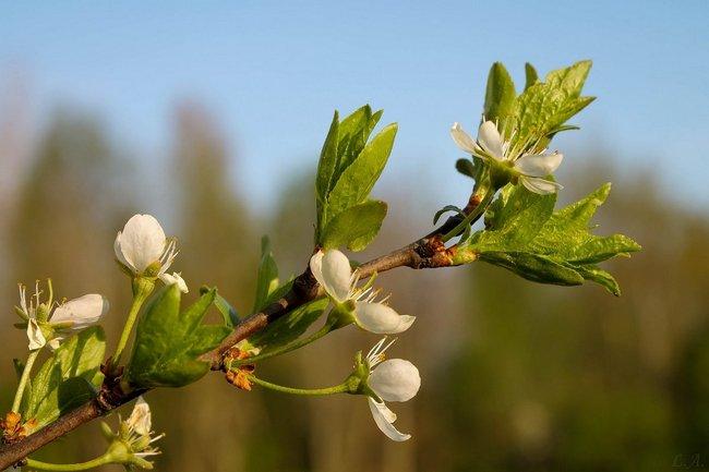 Чем подкормить сливу после цветения
