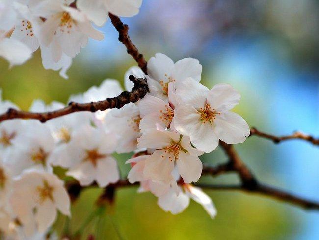 Чем подкормить вишню во время цветения и после цветения