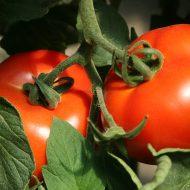 Йод для растений, как удобрение для помидор