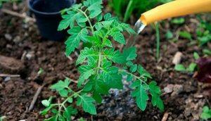 Йод для растений как удобрение для помидор