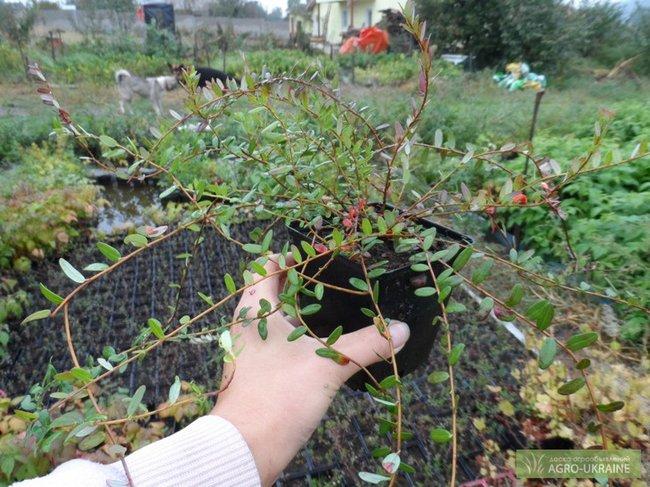 Клюква садовая посадка и уход фото отзывы