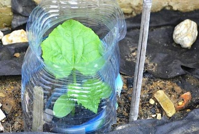 Огурцы в бутылках выращивание видео