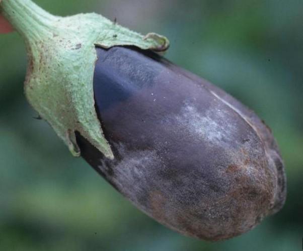 Болезни баклажанов фото и их лечение