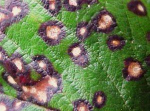 Болезни чёрной смородины: фото и борьба с ними