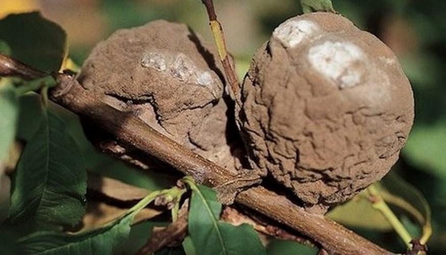 Болезни персика: описание с фотографиями