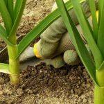 Чем поливать чеснок чтобы не желтели листья