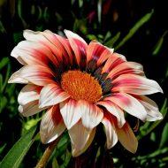 Газания многолетняя: посадка и уход, фото в саду