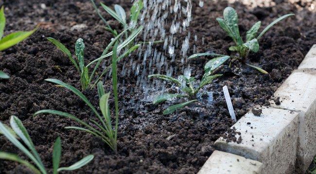 Газания многолетняя посадка и уход фото в саду