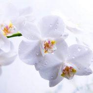 Как правильно поливать орхидею в домашних условиях?