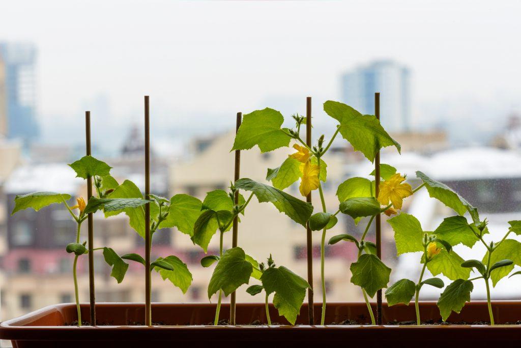 Пустоцвет на огурцах что делать в домашних условиях