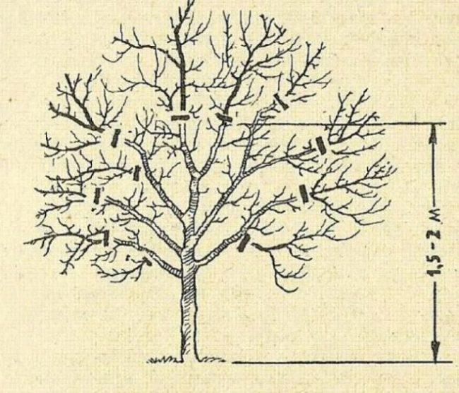 Обрезка старых яблонь осенью для начинающих в картинках пошагово