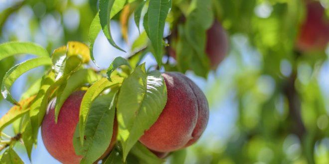 Когда подрезать персик