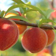 Обрезка персика осенью: видео для начинающих