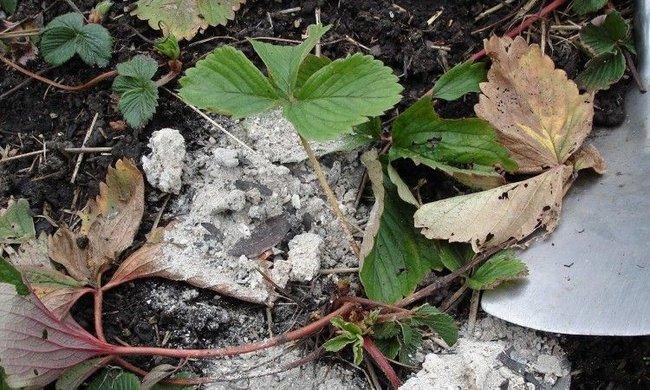 Осенняя подкормка клубники