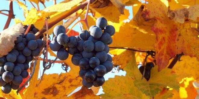 Осенняя подкормка винограда в зиму: сроки и средства