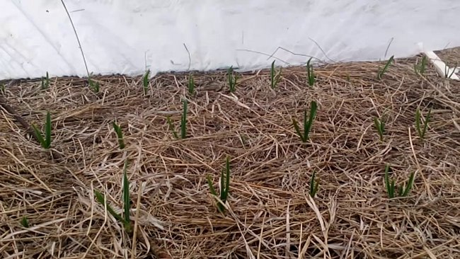 Посадка чеснока осенью под зиму в Сибири