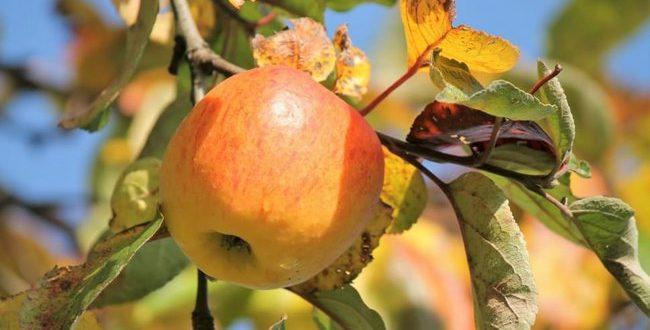 Осенняя подкормка плодовых деревьев и кустарников