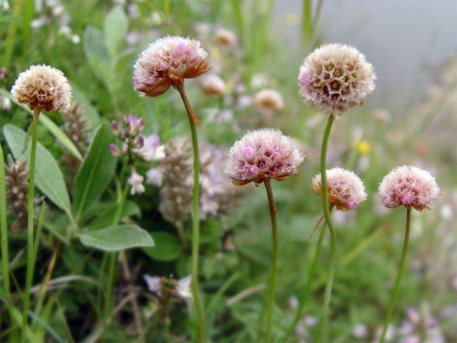 Армерия травянистые растения для открытого грунта