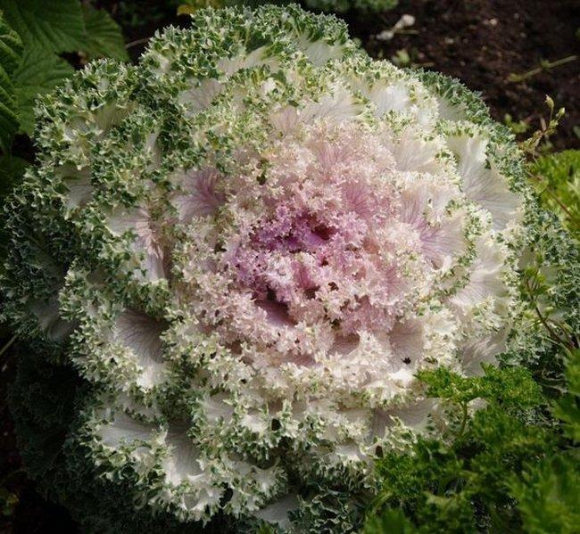 Цветок который похож на капусту