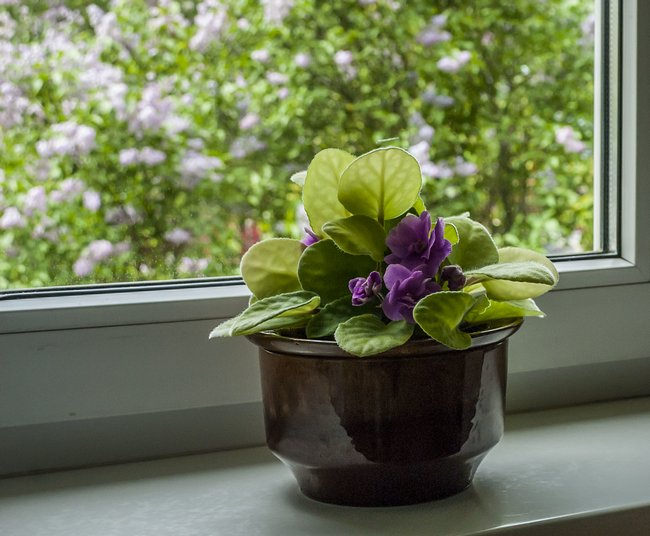 Как ухаживать за фиалками чтобы они цвели в домашних условиях