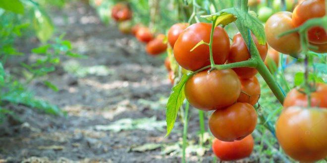 Помидоры что можно сажать на следующий год после томатов и что нельзя