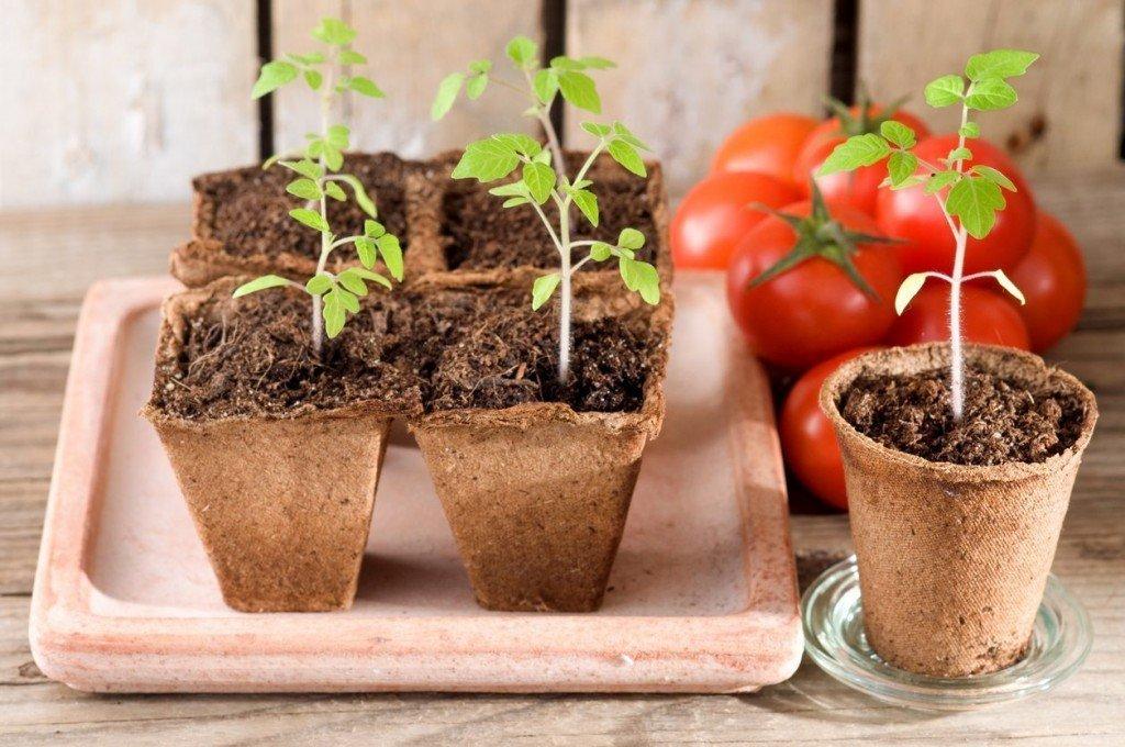Как вырастить рассаду помидор в домашних условиях пошаговая инструкция