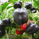 Сорта перцев для открытого грунта в Средней полосе