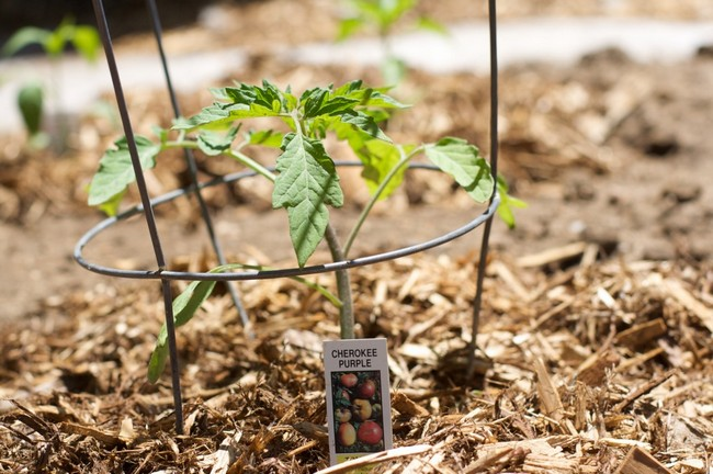 Выращивание рассады томатов в пеленках от Галины Кизимы