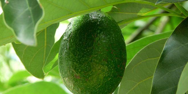 Как посадить косточку авокадо в домашних условиях