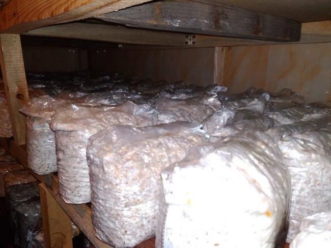 Как вырастить грибы в домашних условиях шампиньоны вешенки