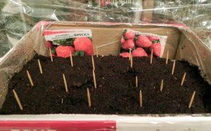 Когда сеять клубнику на рассаду в домашних условиях