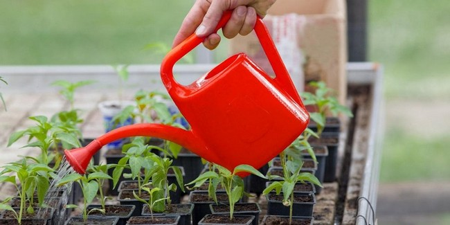 Полив растений перекисью водорода