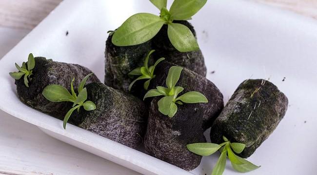 Посев эустомы на рассаду в торфяные таблетки