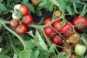 Семена помидоров самые урожайные сорта на 2019 год для Подмосковья