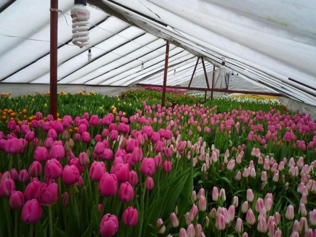 Выгонка тюльпанов к 8 марта в теплице технология выращивания