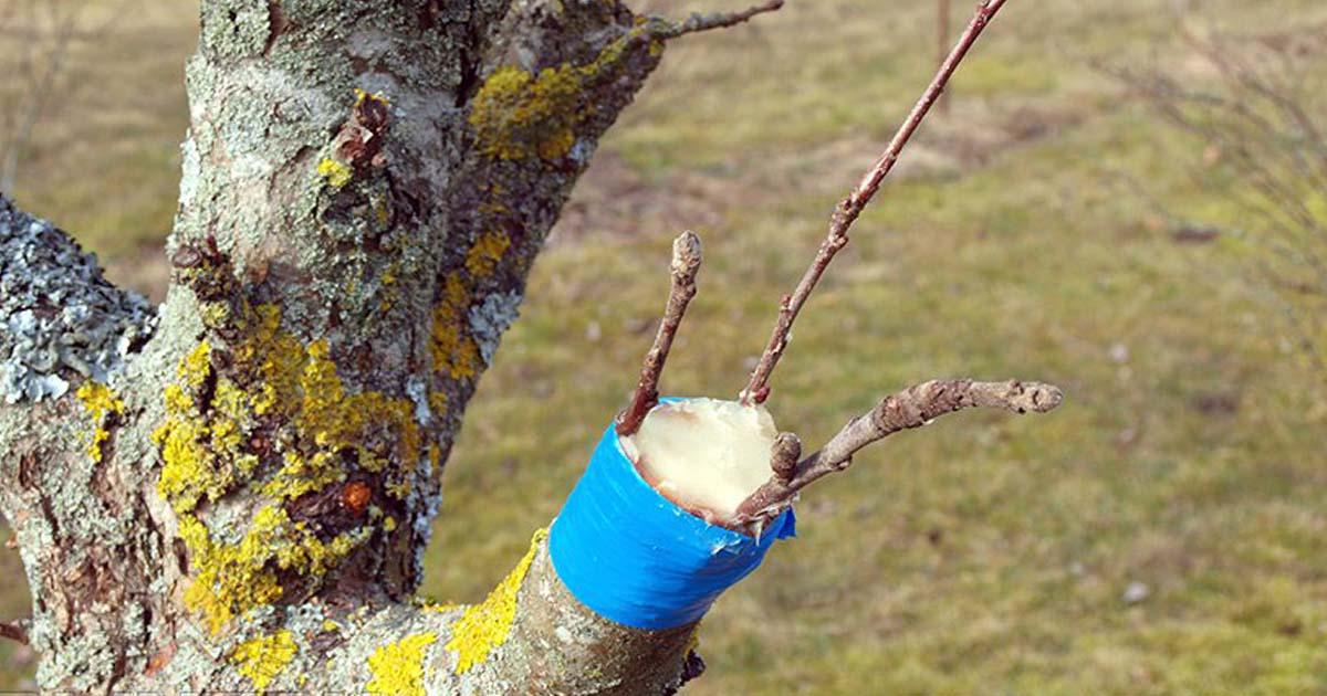 Прививка деревьев весной сроки время прививки