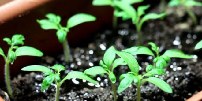 Посадка семян помидоров на рассаду в домашних условиях: правила посева