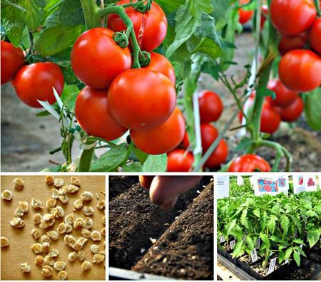 Когда садить помидоры на рассаду в 2019 году по лунному календарю