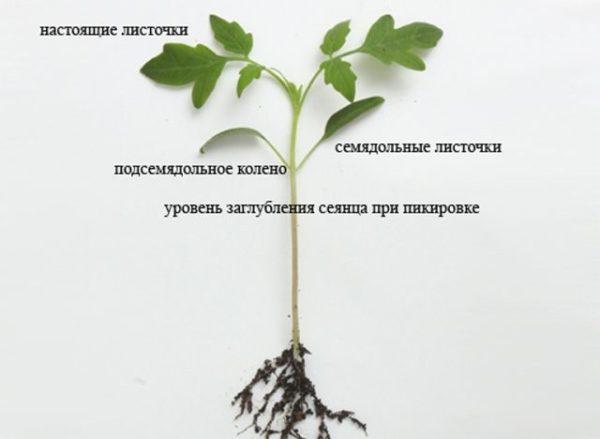 Пикировка помидор в апреле 2019 по лунному календарю