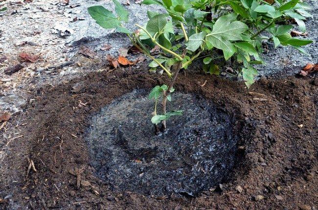 Посадка древовидного пиона весной в открытый грунт