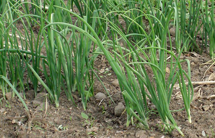 Посадка лука чернушки весной в открытый грунт