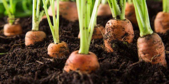 Правильный посев моркови весной