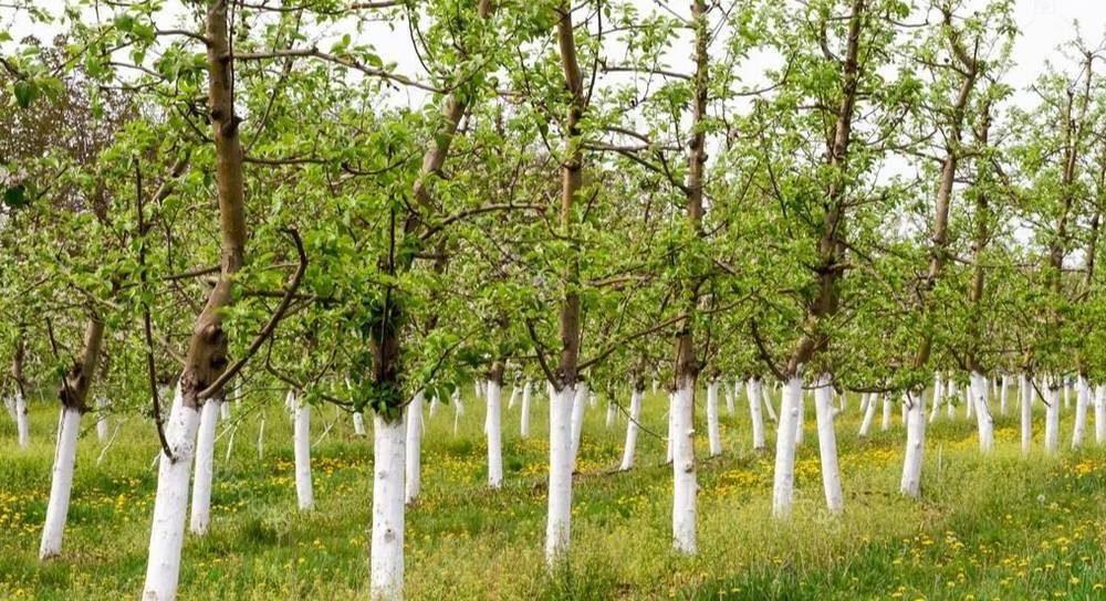 Как развести известь для побелки деревьев